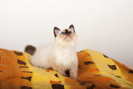 A seal point Birman cat, 4 month old kitten, male with blue eyes lying on the bed