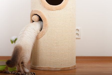 A seal point Birman cat, 4 month old kitten, male with blue eyes climbs into the cat scratching barrel