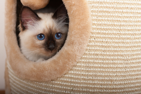 A seal point Birman cat, 4 month old kitten, male with blue eyes hiddens into the cat scratching barrel