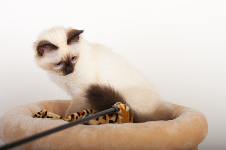 sittting: A seal point Birman cat, 4 month old kitten, male with blue eyes is sittting on cat scratching barrel