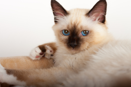 A seal point Birman cat, 4 month old kitten, male with blue eyes