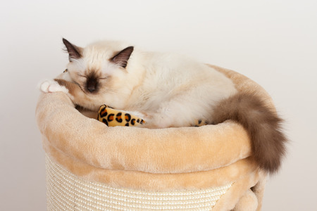 A seal point Birman cat, 4 month old kitten, male with blue eyes is sleeping on cat scratching barrel