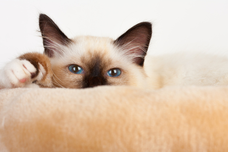 A seal point Birman cat, 4 month old kitten, male with blue eyes is lying on cat scratching barrel Stock Photo