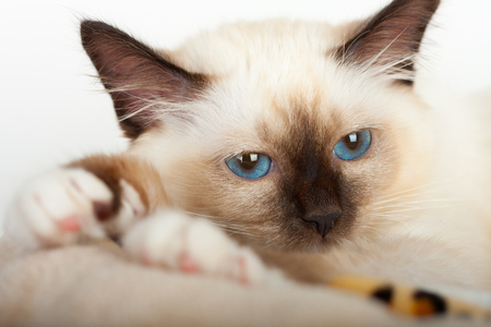 A seal point Birman cat, 4 month old kitten, male with blue eyes, close up of face. Stock Photo