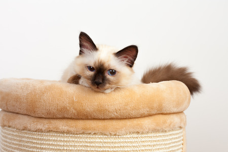 A seal point Birman cat, 4 month old kitten, male with blue eyes lying on cat scratching barrel