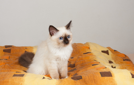 A seal point Birman cat, 4 month old kitten, male with blue eyes is sitting on the bed.  Stock Photo