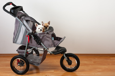 Cinnamon and white  Chihuahua are sitting in comfortable pet stroller Reklamní fotografie - 84416404