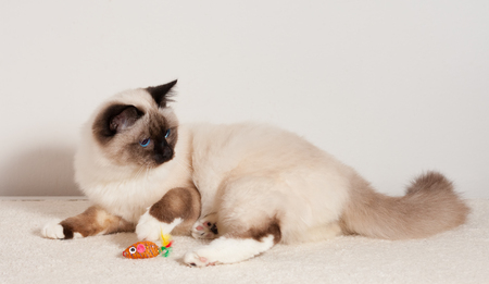 A seal point Birman cat, 9 month old cat , male with blue eyes playing with toy on the carpet