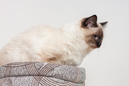 A seal point Birman cat, 9 month old kitten, male with blue eyes sitting on the textile bed for cat.