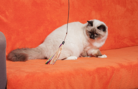 A seal point Birman cat, 9 month old cat , male with blue eyes is sitting on sofa Stock Photo
