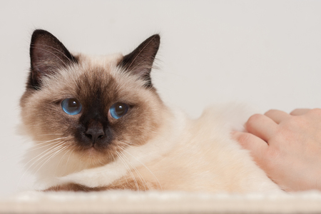 A seal point Birman cat, 9 month old cat, male being stroked by a womans hands