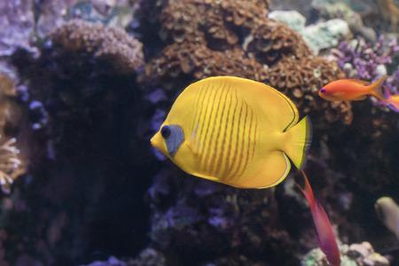 The blue-cheeked butterflyfish, Chaetodon semilarvatus swimming inside aquarium .
