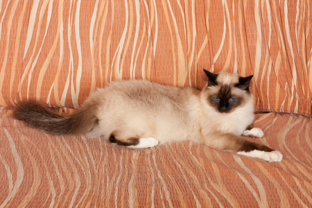 A seal point Birman cat, 1 year old cat , male with blue eyes is lying on sofa Stock Photo
