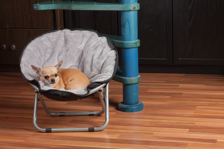 Chihuahua is lying on pet chair at living room . 2,5 years old cinnamon female dog.