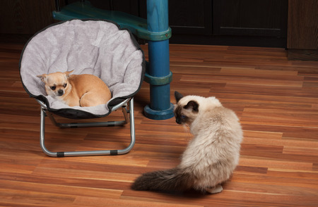 Chihuahua is lying on pet chair and cat is standing on the floor. 2,5 years old cinnamon Chihuahua dog female and a seal point Birman male cat 1 year old. Stock Photo