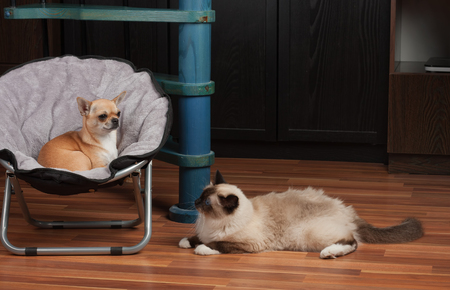 Chihuahua is lying on pet chair and cat is lying on the floor. 2,5 years old cinnamon Chihuahua dog female and a seal point Birman male cat 1 year old.