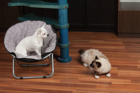 Chihuahua is sitting on pet chair and cat is lying  on the floor. 5 years old white  Chihuahua dog female and a seal point Birman male cat 1 year old.