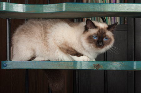 A seal point Birman cat, 1 year old cat , male with blue eyes is sitting on wooden spiral staircase