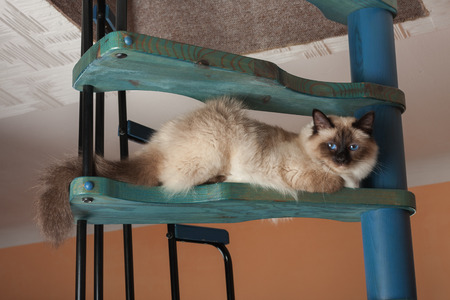 A seal point Birman cat, 1 year old cat , male with blue eyes is sitting on wooden spiral staircase 스톡 콘텐츠 - 124962601