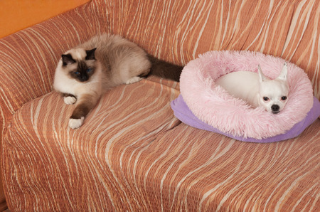 Chihuahua dog and a seal point Birman cat are lying on sofa. Male cat is 1 year old,  white dog female is 5 years old