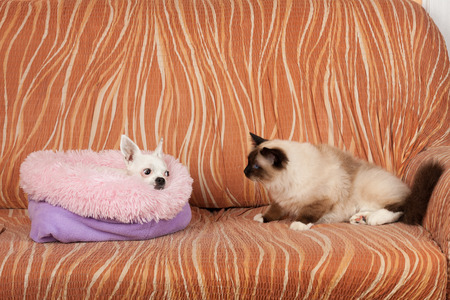 Seal point Birman cat is watching lying Chihuahua dog on sofa. Male cat is 1 year old,  white dog female is 5 years old