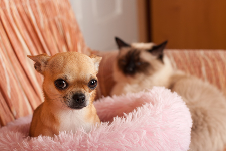 2,5 years old cinnamon Chihuahua dog female and on the background a seal point Birman male cat, 1 year old  are lying on sofa. Chihuahua is afraid  of a cat