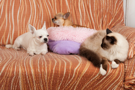 Two Chihuahua dogs and a seal point Birman cat are lying on sofa. Male cat is 1 year old, 2,5 years old cinnamon dog female and 5 years old white dog female.