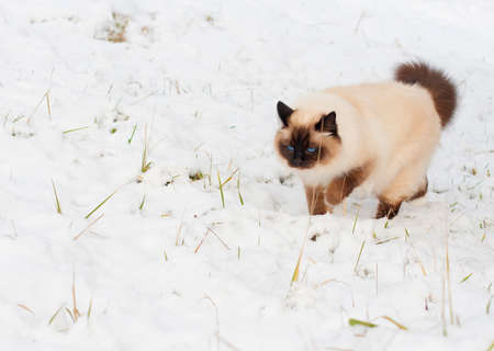 A seal point Birman cat, 4 year old cat, male with blue eyes is walking in garden in winter time in the snow.