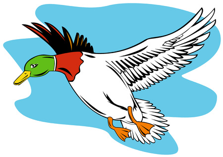 flying birds: Mallard