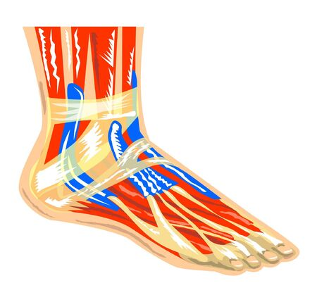 inferior: Muscles of the foot