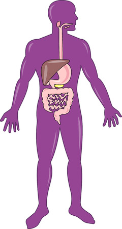 esophagus: Human anatomy showing the digestive system
