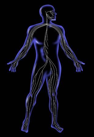 nervios: La anatom�a humana que muestra el sistema nervioso Foto de archivo