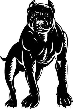 black and white pit bull: American Pit bull Terrier