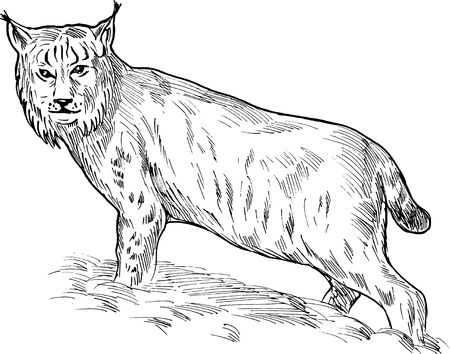 lynx: hand sketch drawing illustration of a Eurasian lynx done in black and white