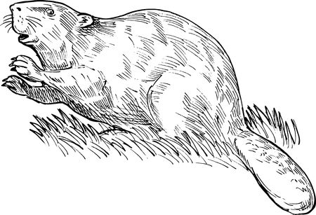 eurasian: hand sketched drawing illustration of a European beaver or Eurasian beaver done in black and white. Stock Photo