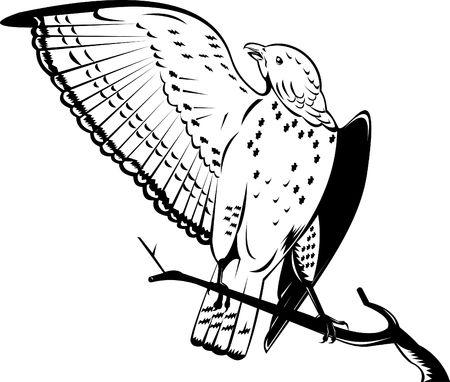 Broad-winged hawk Stock Photo - 7369564
