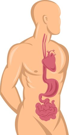 illustration of a Human anatomy showing heart,stomach,intestine and digestive system isolated on white background. illustration