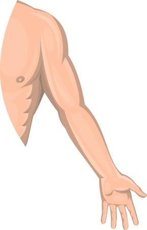 arm: illustrazione di un braccio umano di sesso maschile di sinistra isolato su sfondo bianco.