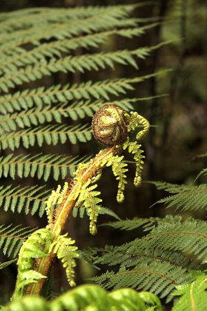 silver fern: new growth frond on a ponga fern also known as the silver fern,the national symbol of new zealand.  Stock Photo