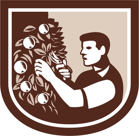 shears: Illustration of grower gardener pruning a tree branch with fruits using shears viewed from side set inside shield crest on isolated white background done in retro style.