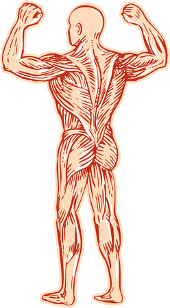 woodblock: Etching engraving handmade style illustration of human muscular system anatomy skeletal muscle tissue set on isolated white background.