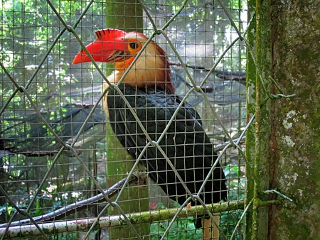 philippine: Photo of a Philippine Toucan inside a cage.