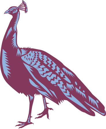 genera: Illustration of a male Indian peacock of the bird species in the genera Pavo and Afropavo of the Phasianidae family viewed from the side set on isolated white background done in retro woodcut style. Illustration