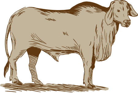 brahman: Drawing sketch style illustration of a brahman bull looking front viewed from the side set on isolated white background.