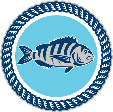 Illustration of a sheepshead (Archosargus probatocephalus) a marine fish viewed from the side set inside rope circle on isolated background done in retro style.