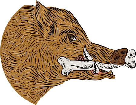 jabali: Gráfico de la ilustración del estilo del bosquejo de una cabeza razorback jabalí cerdo salvaje con el hueso en la boca se ve desde el conjunto de lado en el fondo blanco aislado. Vectores