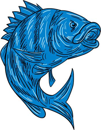Drawing sketch style illustration of a sheepshead (Archosargus probatocephalus) a marine fish set on isolated white background.