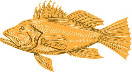 exclusively: Drawing sketch style illustration of a Black sea bass or Centropristis striata, an exclusively marine grouper viewed from the side set on isolated white background. Illustration