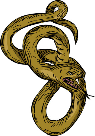 coiled: Drawing sketch style illustration of a viper snake coiling up coiled with mouth open and tongue out ready to pounce set on isolated white background.