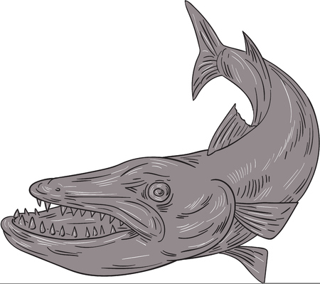 barracuda: Drawing sketch style illustration of a barracuda, a ray-finned saltwater fish of the genus Sphyraena, the only genus in the family Sphyraenidae set on isolated white background. Illustration
